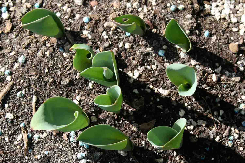 Tulipa berkariense entfaltet hingegen ovales Laub.