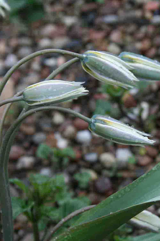 Tulipa binutans