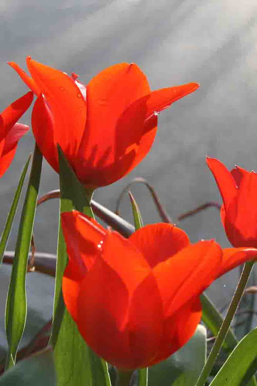 Tulipa butkowii