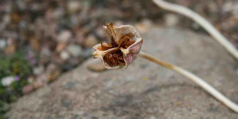 Saatstand von Tulipa clusiana mit aneinanderliegendem Samen