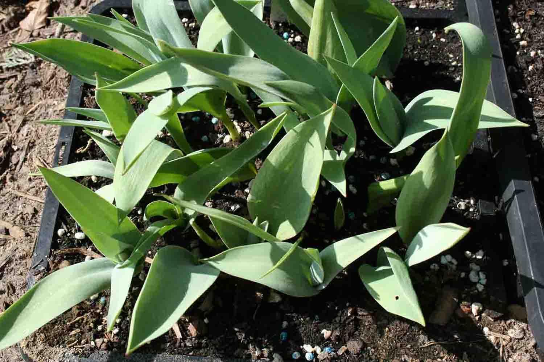 Tulipa lanata ist zum gleichen Zeitpunkt schon weiter entwickelt