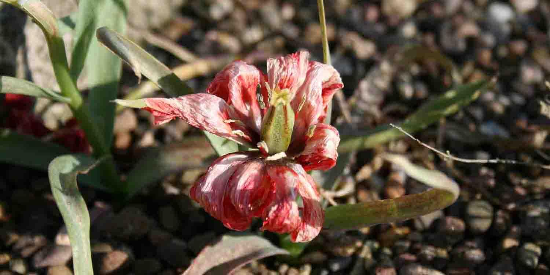 Die langsam verblassenden Farben auf den Blütenblättern und die sich entwickelnde Samenkapsel bei Tulipa linifolia sind ein wirklich zauberhaftes Schauspiel.