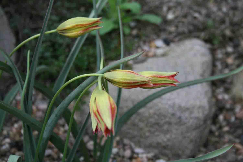 Typisch für botanische Tulpen, die zur Seite geneigte Knospe kurz vor dem Aufblühen