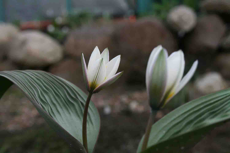 Tulipa regelii in Blüte.