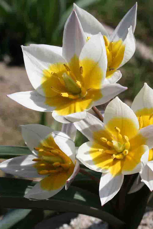 Tulipa subbiflora