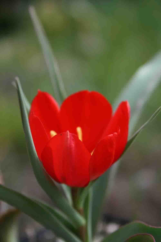 Tulipa wilsoniana