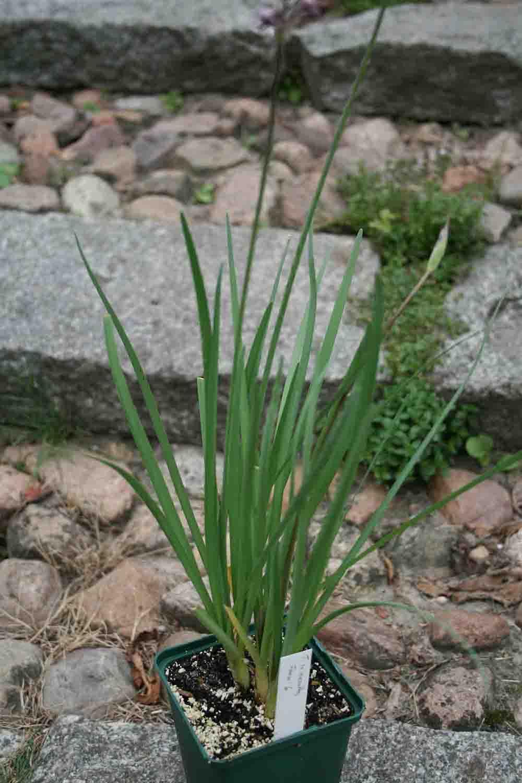 Tulbaghia leucantha Ref. 1122