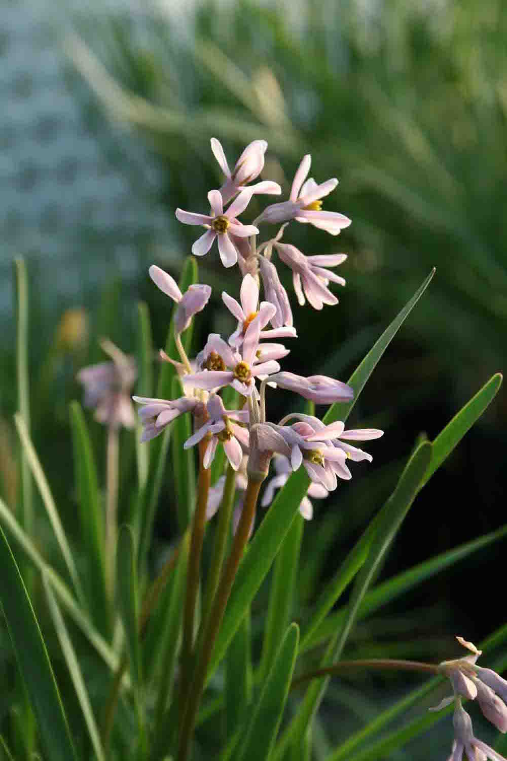 Tulbaghia natalensis CDR 84