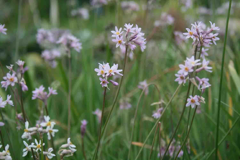 Tulbaghien Flor während des Sommers
