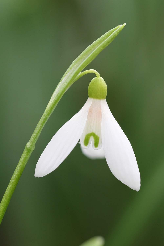 Galanthus lagodechianus