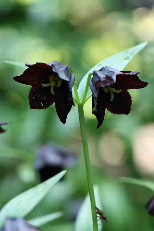 Fritillaria camschatcensis ' Large Black '