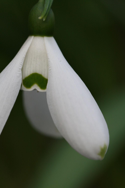 Galanthus elwesii ' Hercule '