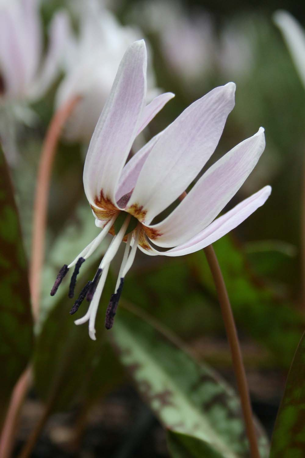 Erythronium dc 'Rose Queen'