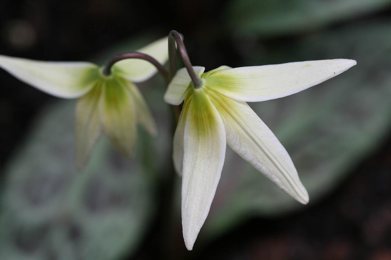 Erythronium 'helenae'