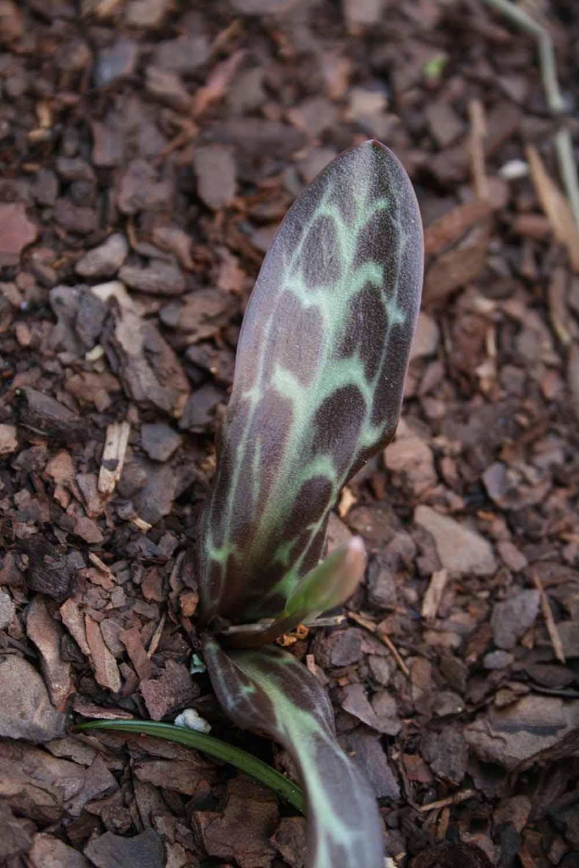 Erythronium howellii