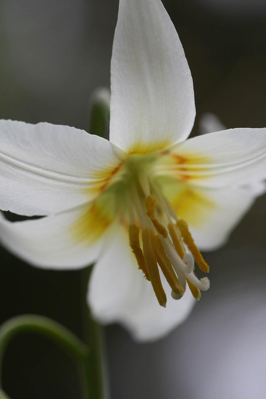 Erythronium multiscapoideum