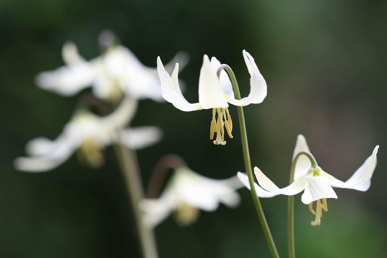 Erythronium oregonum leucandrum