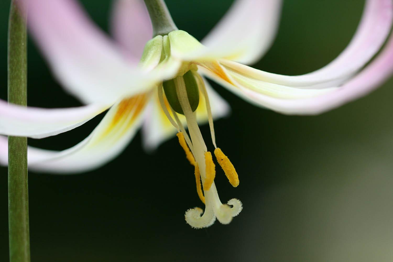 Erythronium 'Rosalind'