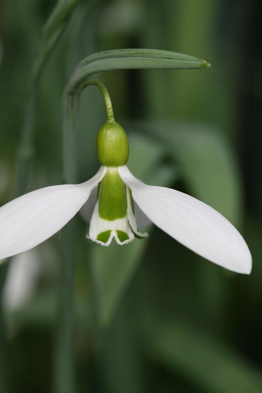 Galanthus gracilis ' Yamanlar '