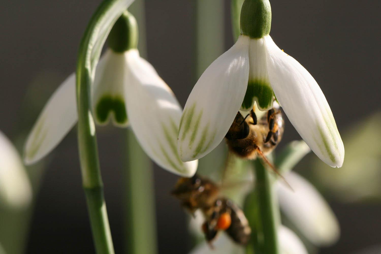 Das emsige Treiben an den Blüten von Galanthus nivalis 'Cornwood' ist an sonnigen Tagen im Frühling immer wieder ein wahrer Augenschmaus für uns