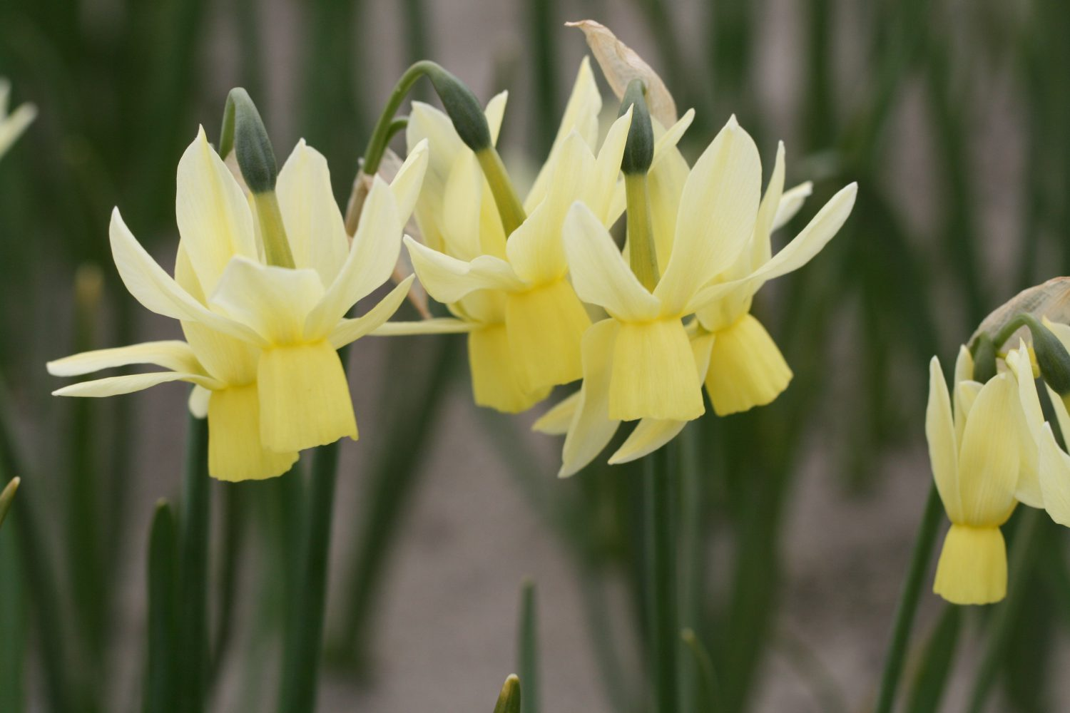 Nar V6 Narcissus 'Chippea