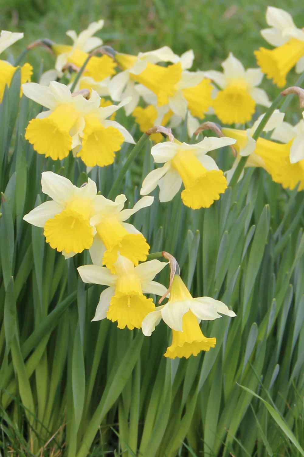 Narcissus pseudonarcissus ssp. lobularis