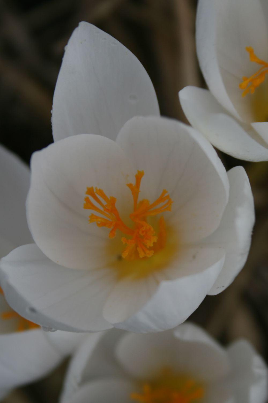 Crocus speciosus subsp. speciosus Albus