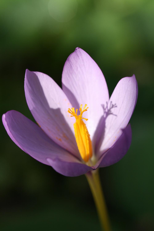Crocus nudiflorus