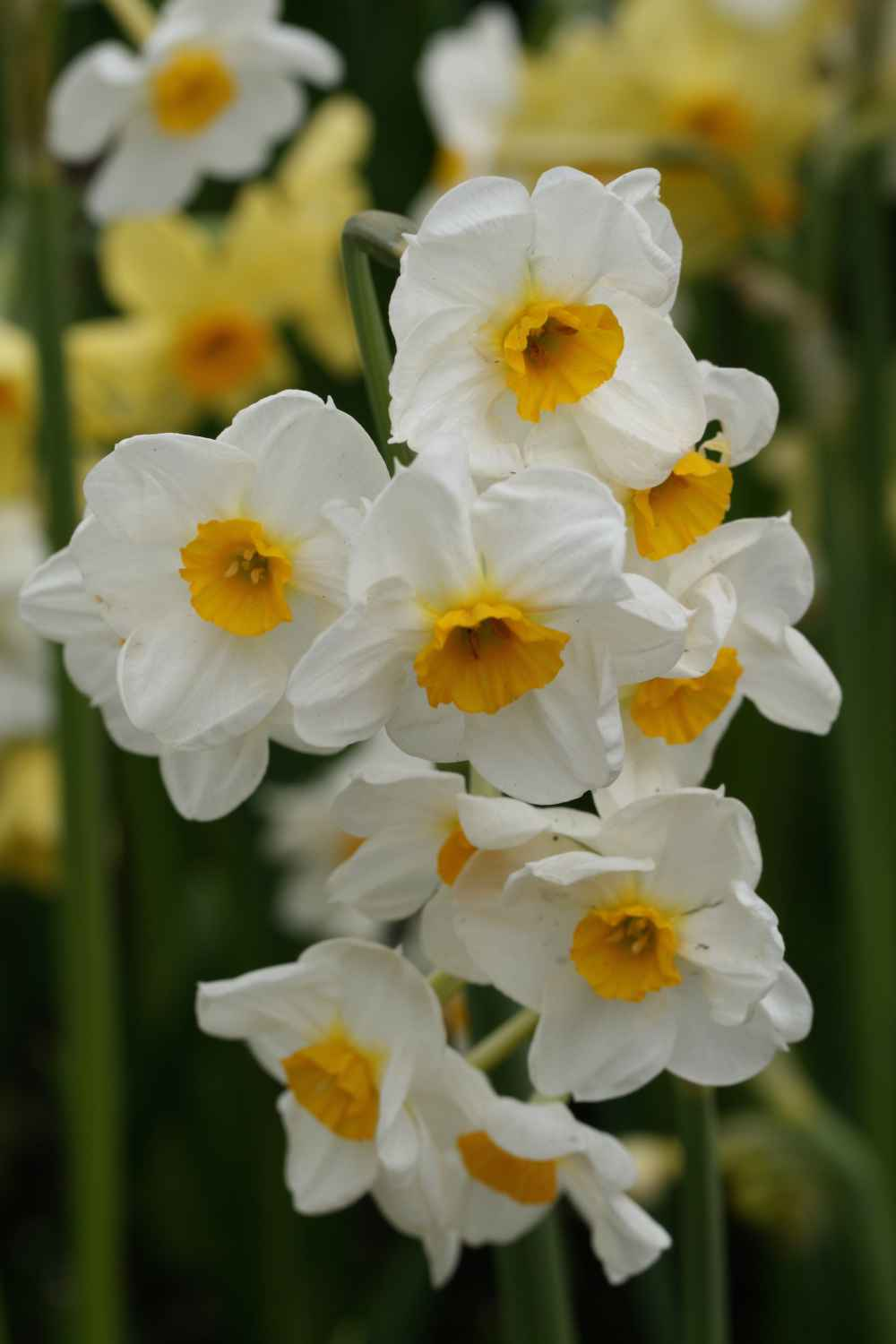 Narcissus 'Laurens Koster'