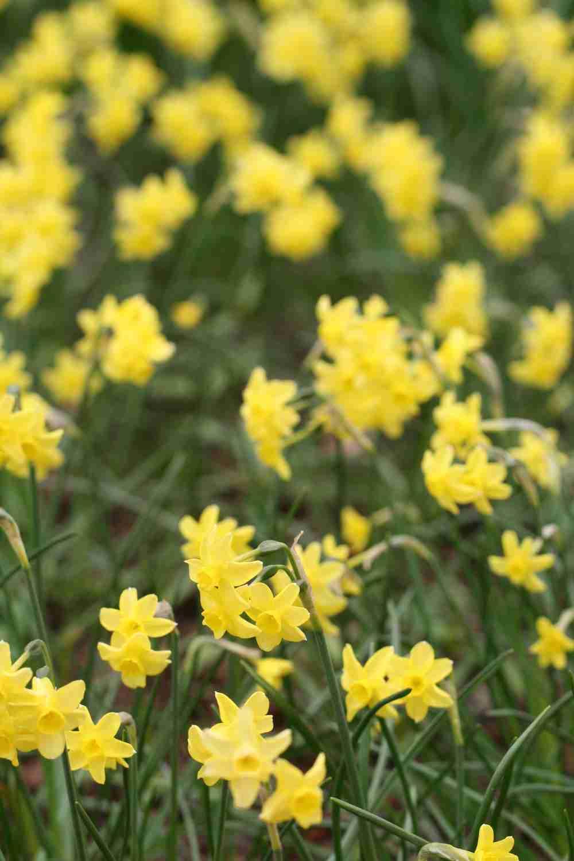 Narcissus 'Sabrosa'