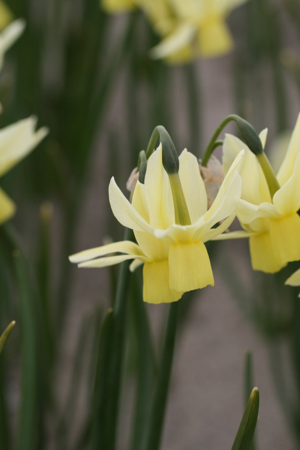 Narcissus Chippea