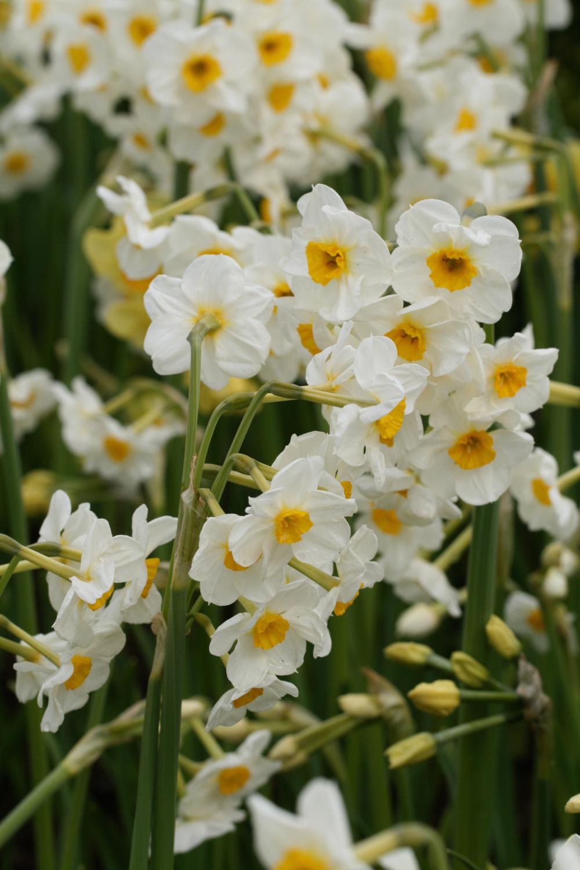 Narcissus Laurens Koster