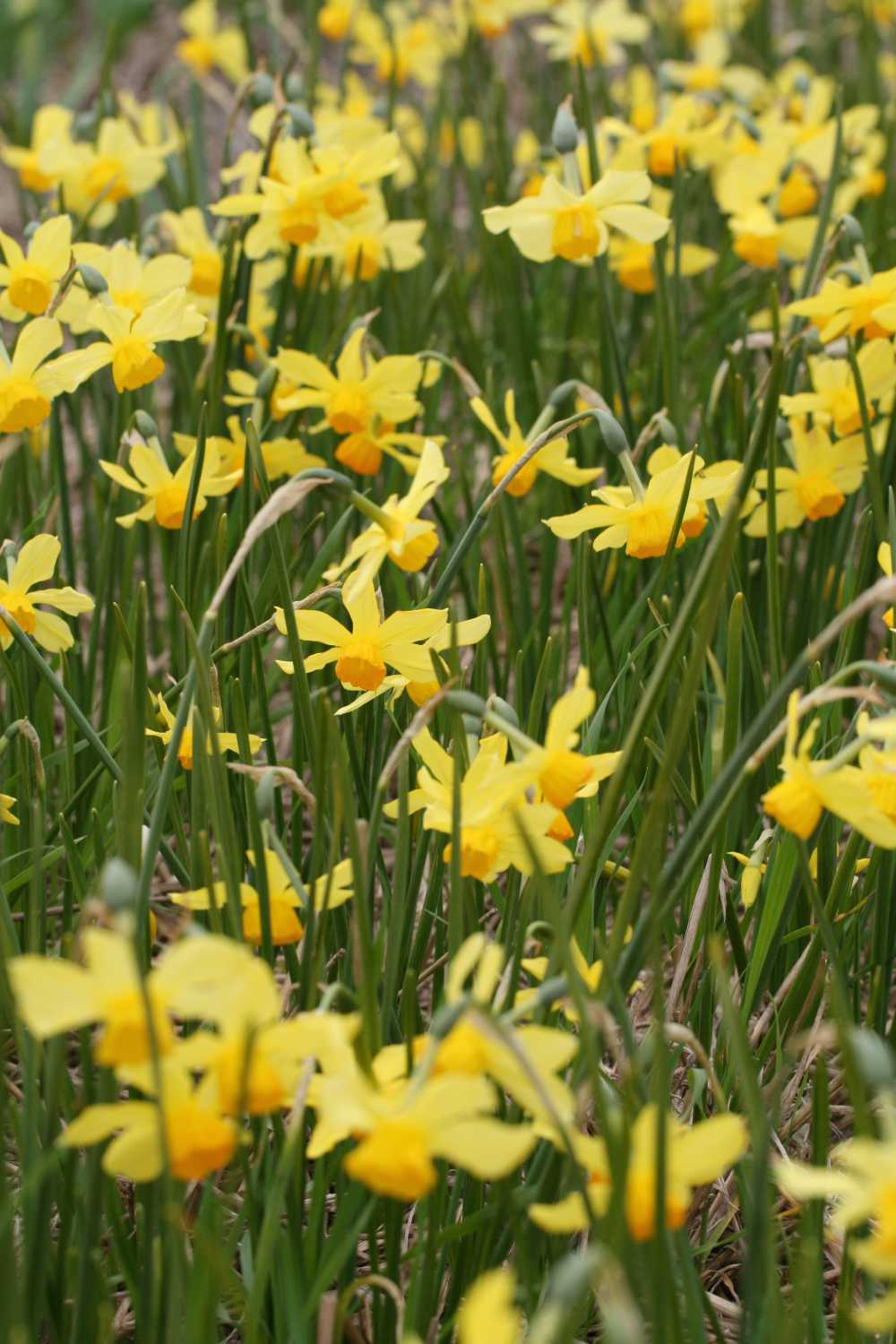 Narcissus Rosedown