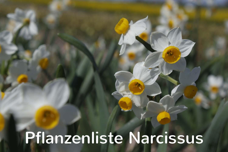 Pflanzenliste Narcissus