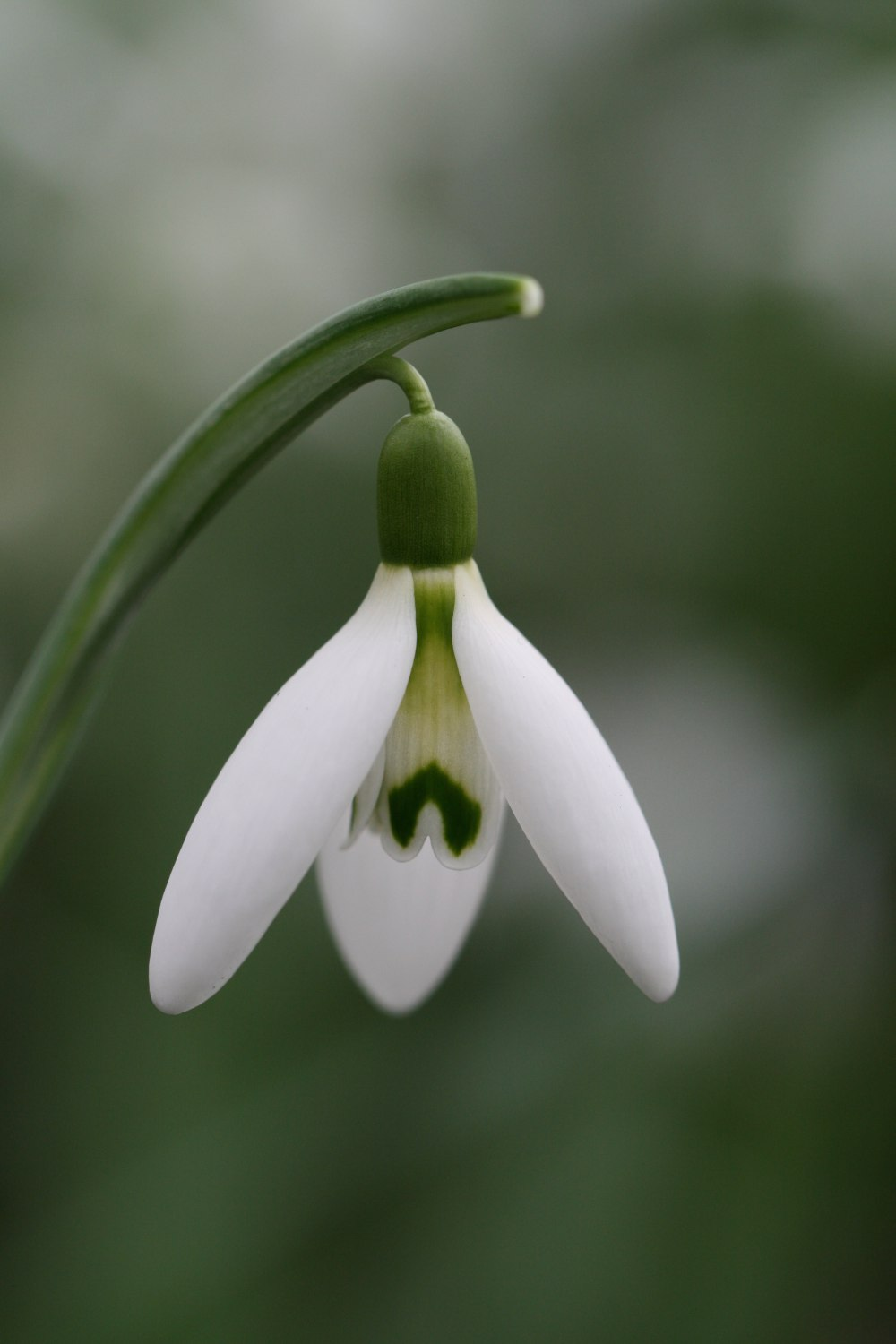 Galanthus 'Benhall Beauty'