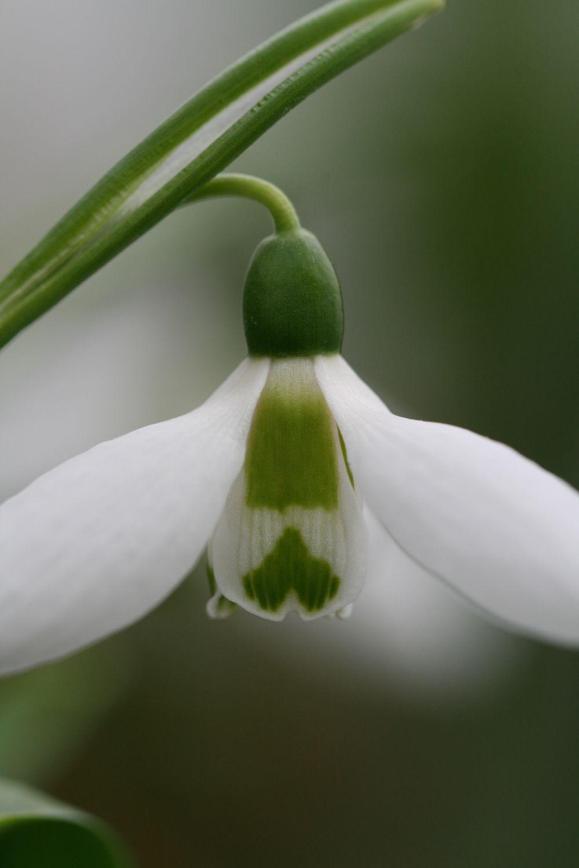 Galanthus elwesii ' Huttlestone '
