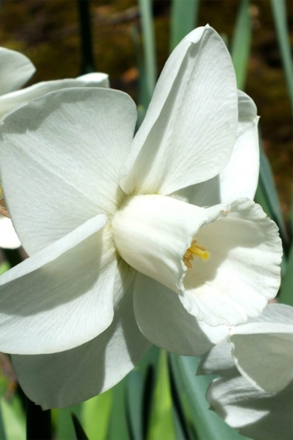 Narcissus 'Snowboard'