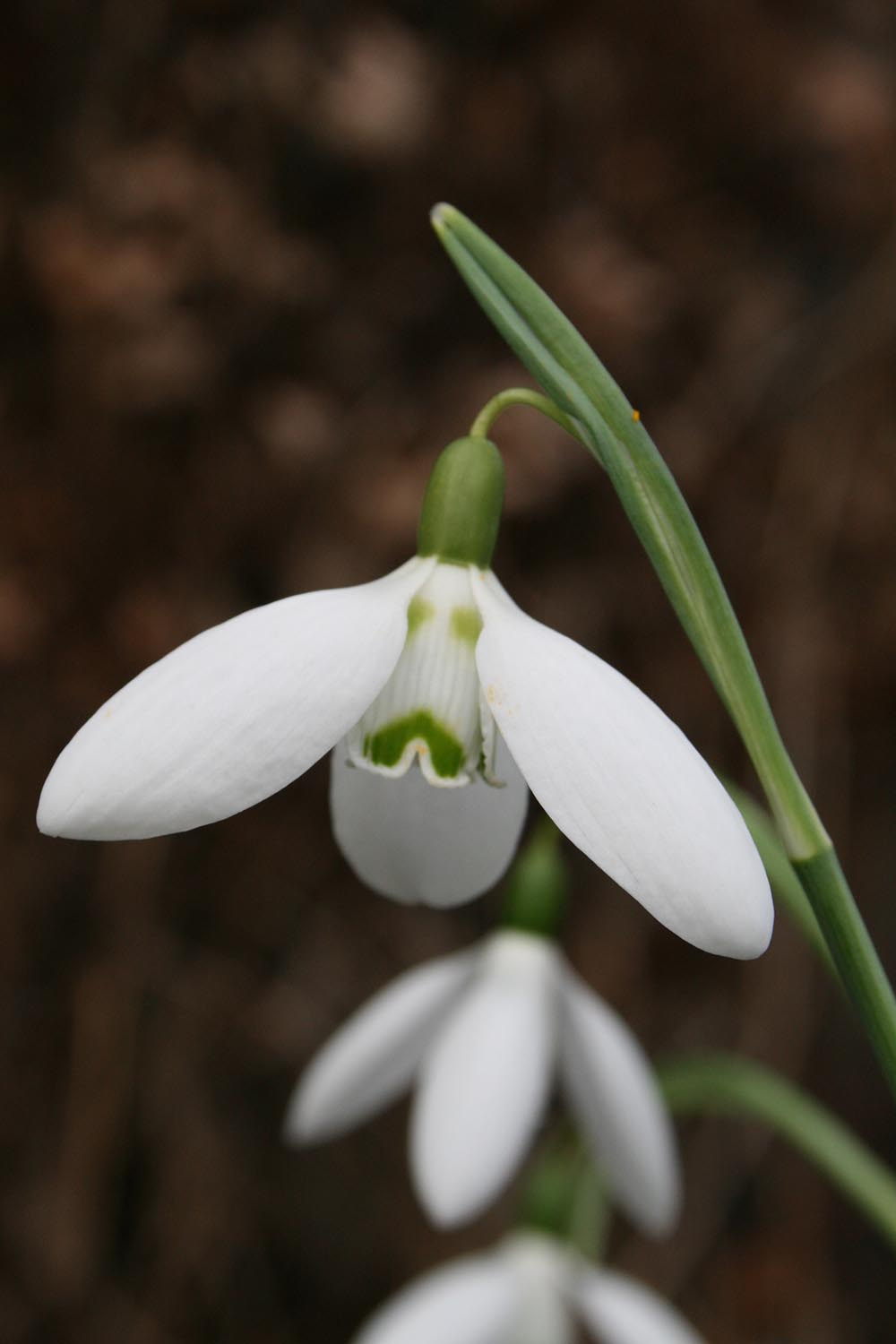 Galanthus elwesii 'Ruby's Surprise'