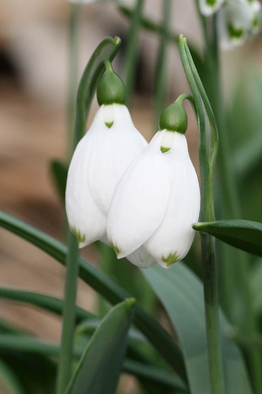 Galanthus elwesii ' Pat Mason '