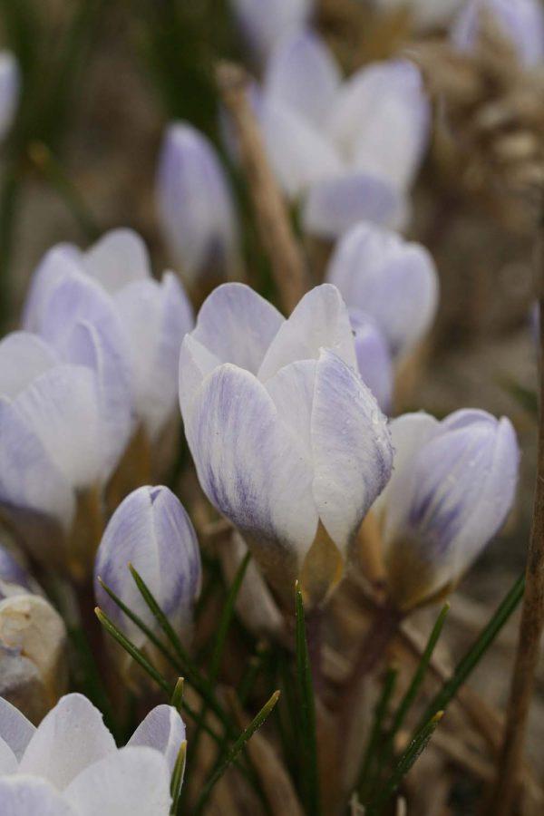 Crocus chrysanthus ' Blue Bird '