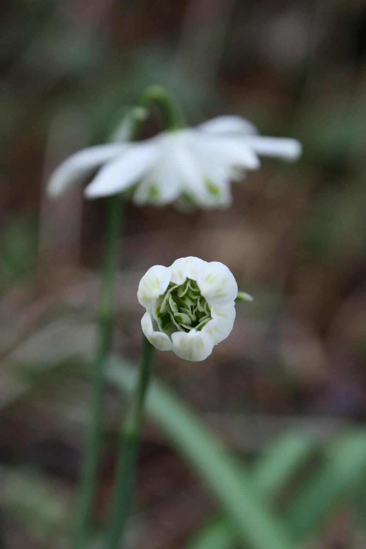 Galanthus Flocon de Neige