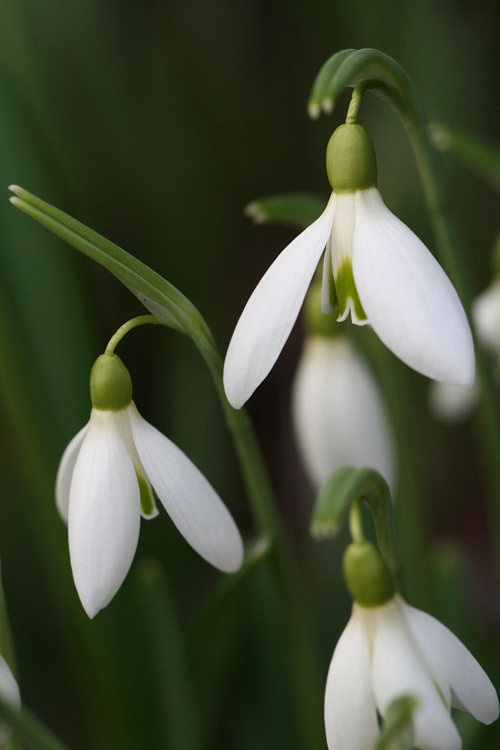 Galanthus ' James Backhouse '
