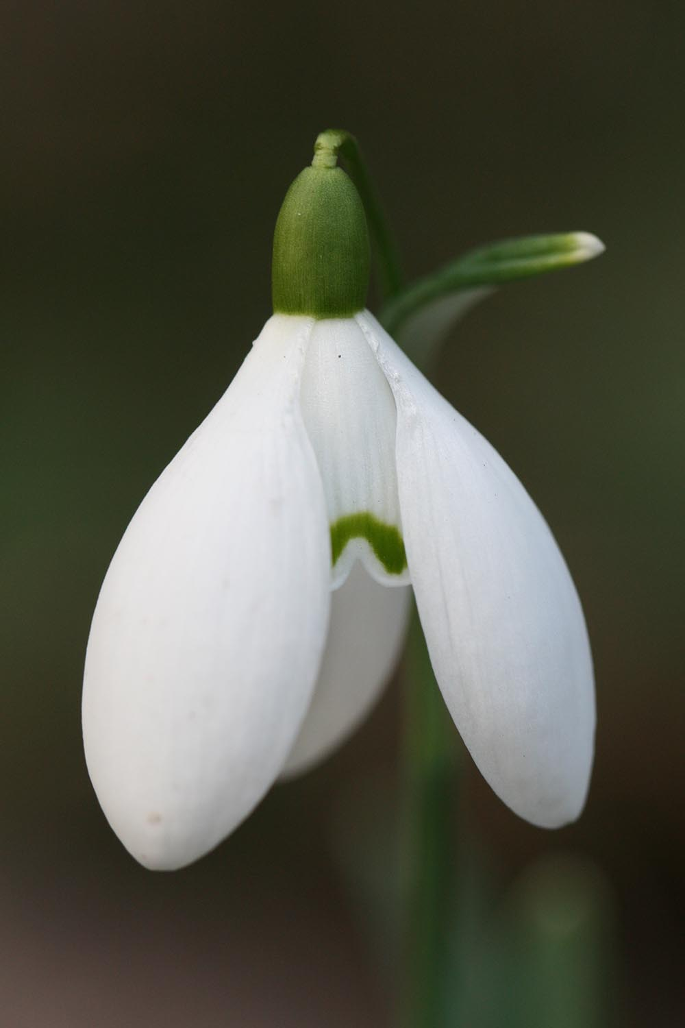Galanthus 'Nothing Special'