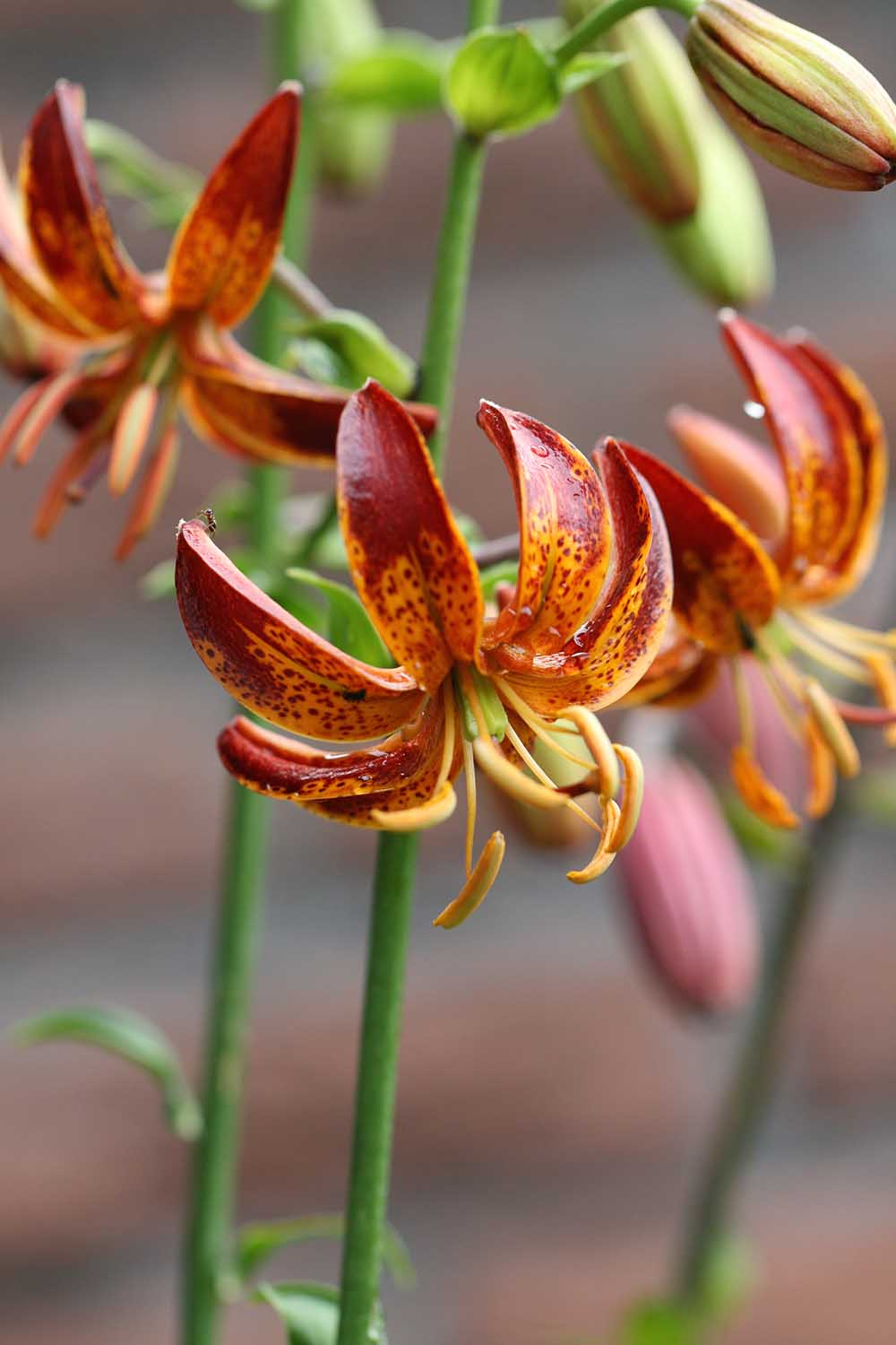 Lilium ' Arabian Night '