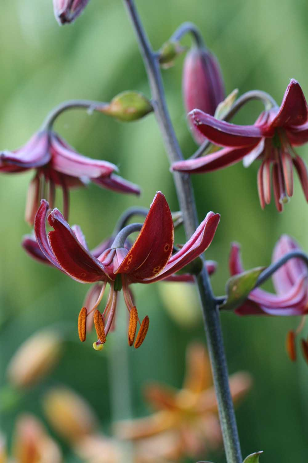 Lilium ' Claude Shrine '