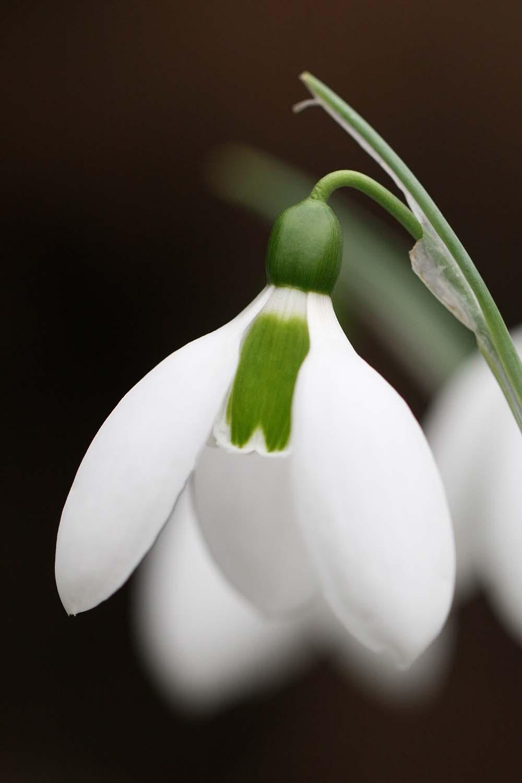 Galanthus elwesii ' Brian Matthew '
