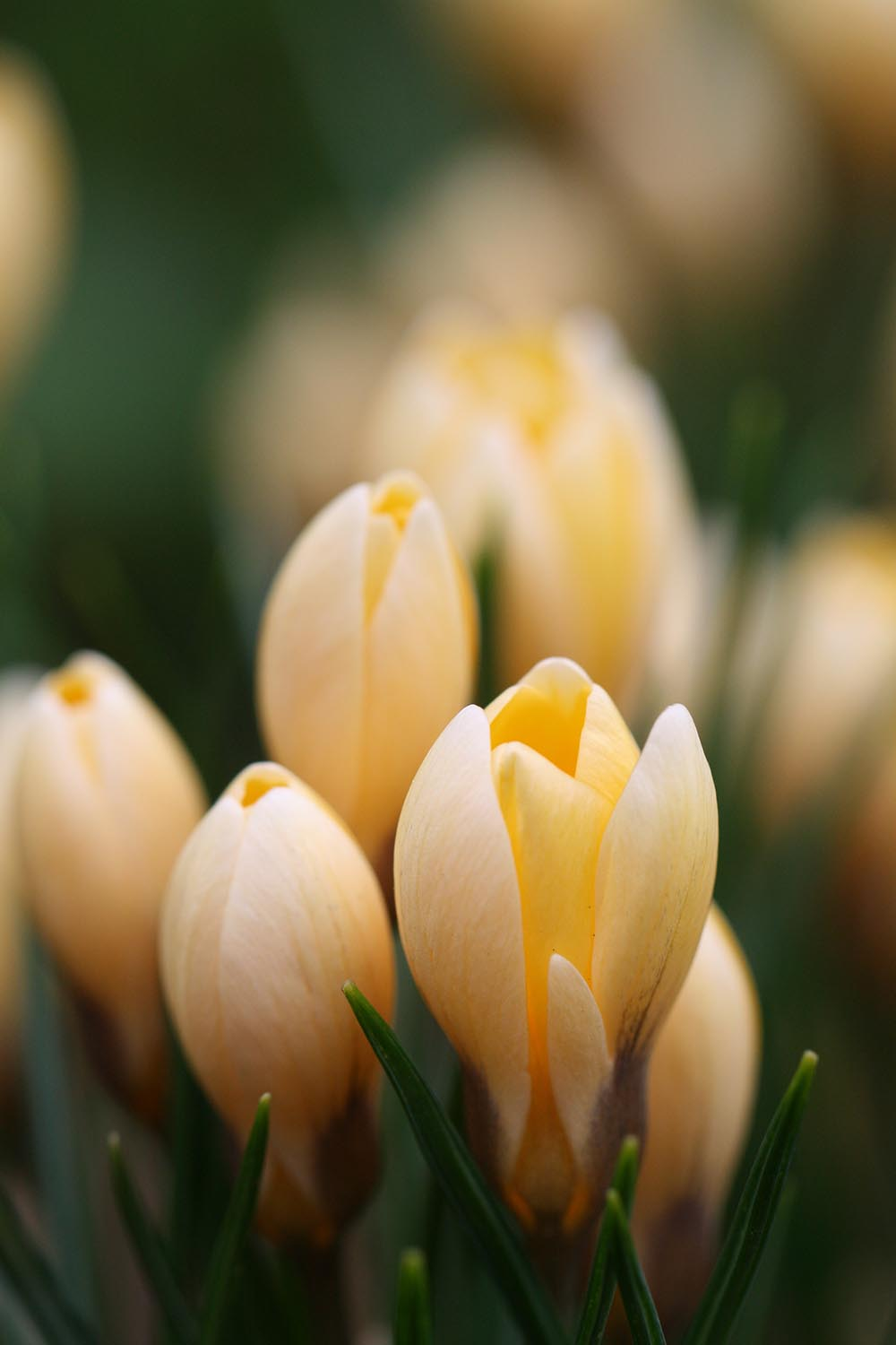 Crocus chrysanthus ' Cream Beauty '