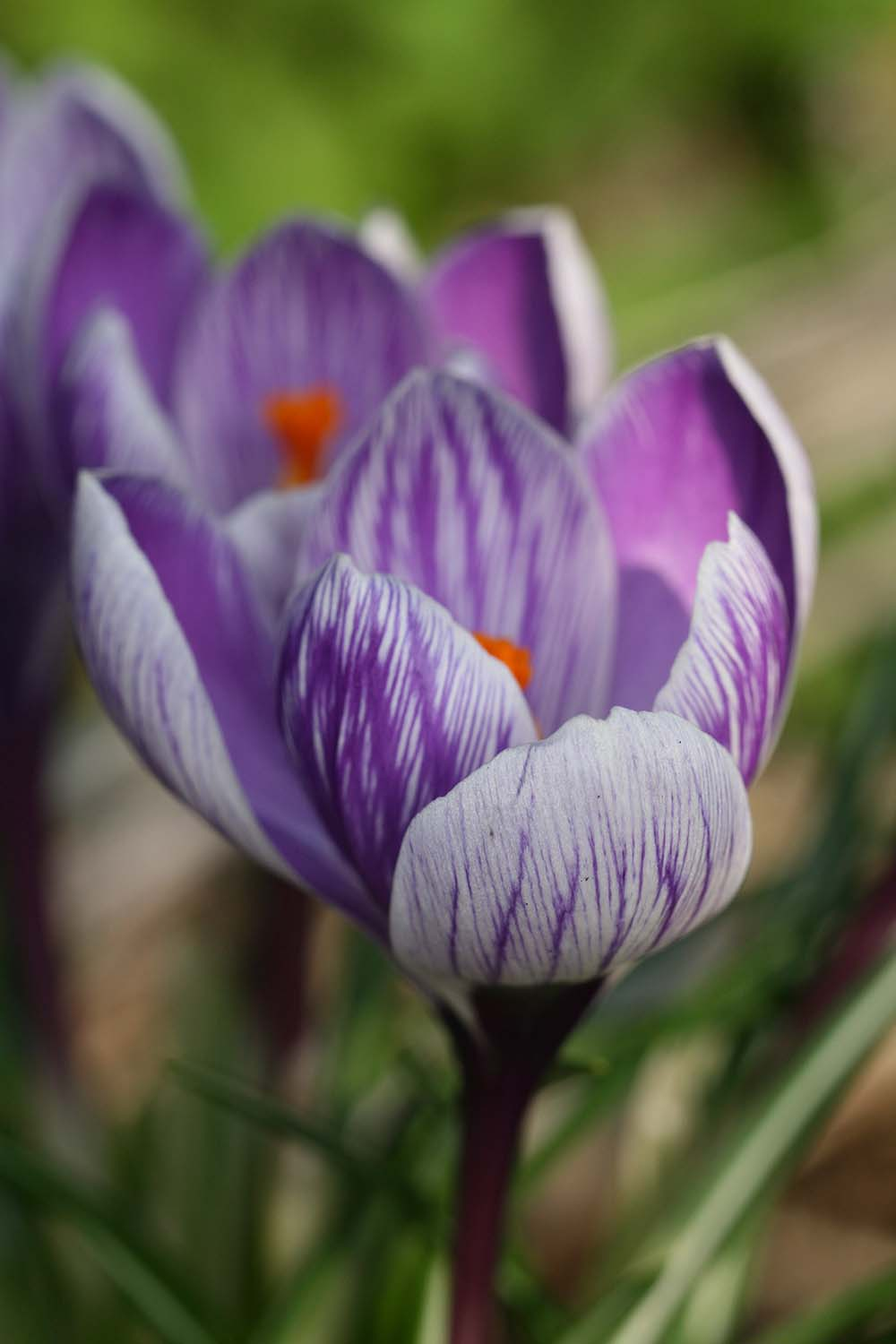 Crocus vernus ' King of the Striped '