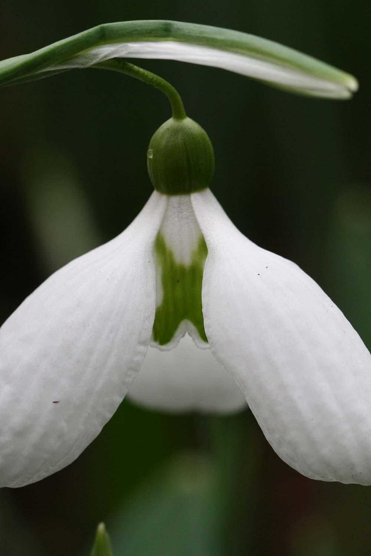 Galanthus ' Glennorma '