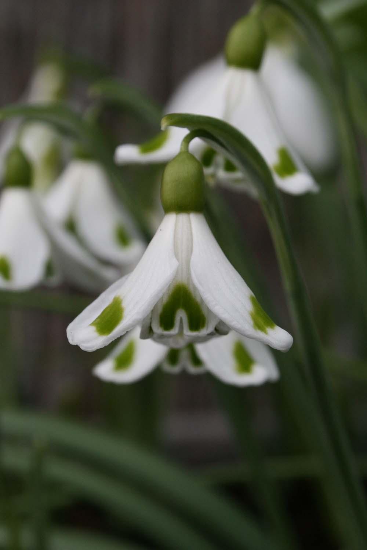 Galanthus plicatus ' Trymposter '